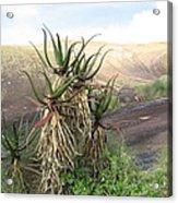 Aloe Aloe  Acrylic Print