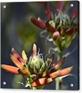Aloe Vera Blossoms  Acrylic Print