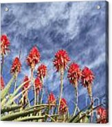 Aloes South Africa Acrylic Print