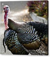 Aloha Turkey IIi Acrylic Print