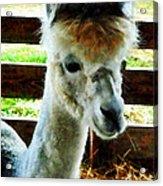 Alpaca Closeup Acrylic Print