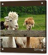 Alpacas-i Acrylic Print by Patricia Overmoyer