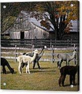 Alpacas In Vermont Acrylic Print