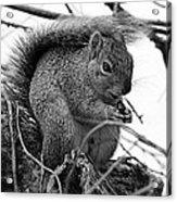 Alpha Squirrel  Acrylic Print