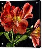 Alstroemeria De Peru Acrylic Print by Michael Putnam