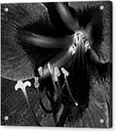 Amaryllis Flower In Black And White Acrylic Print