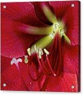 Amaryllis Flower Acrylic Print