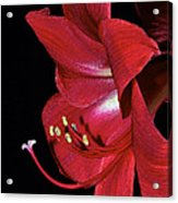 Amaryllis Flower Side View  Acrylic Print