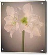 Amaryllis Flowers Acrylic Print by Nathan Blaney