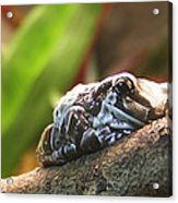 Amazon Milk Frog Acrylic Print