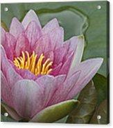 Amazon Water Lily Victoria Amazonica Acrylic Print