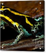 Amazonian Poison Frog Acrylic Print by Dant� Fenolio