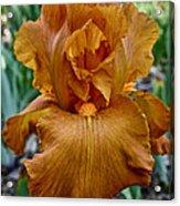 Amber Iris Acrylic Print
