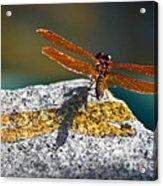 Amberwing Amber Shadow Acrylic Print