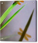 Amberwing Reflection Acrylic Print