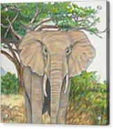 Amboseli Elephant Acrylic Print
