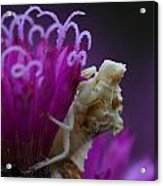 Ambush Bug On Tall Ironweed Acrylic Print