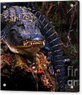 American Alligator On A Cypress Tree Acrylic Print