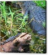 American Alligators Acrylic Print