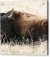 American Bison 2 Acrylic Print