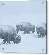 American Bison Graze During A Snowstorm Acrylic Print by Tom Murphy