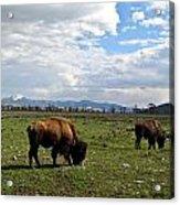 American Buffalo 10 Acrylic Print