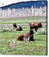 American Buffalo 16 Acrylic Print