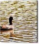 American Coot Floating By Acrylic Print