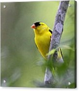 American Goldfinch - Peaceful Acrylic Print