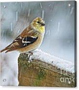 American Goldfinch - Spinus Tristis Acrylic Print