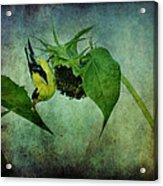 American Goldfinch II Acrylic Print