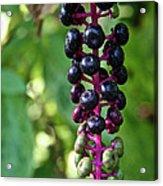 American Pokeweed Berries Acrylic Print