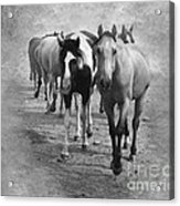American Quarter Horse Herd In Black And White Acrylic Print
