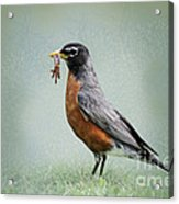 American Robin With Worms Acrylic Print