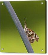 American Snout Butterfly - Libytheana Carinenta Acrylic Print