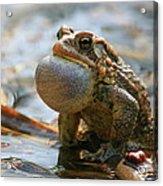 American Toad Croaking Acrylic Print