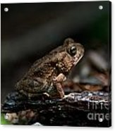 American Toad Acrylic Print
