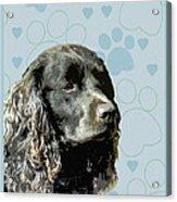 American Water Spaniel Acrylic Print