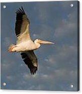 American White Pelican Pelecanus Acrylic Print