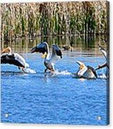 American White Pelicans Acrylic Print