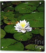 American White Waterlily Acrylic Print