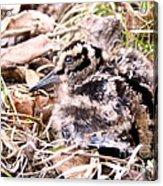 American Woodcock Chick Acrylic Print