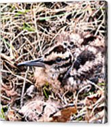 American Woodcock Chick No. 2 Acrylic Print