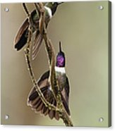 Amethyst-throated Sunangel Heliangelus Acrylic Print