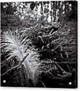 Among Thorns Acrylic Print