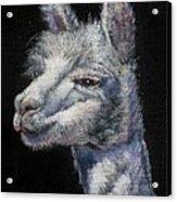 Amorous Alpaca Acrylic Print