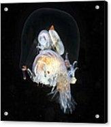 Amphipods Inside A Hydromedusa Acrylic Print
