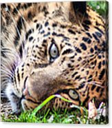 Amur Leopard Acrylic Print