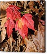 Amur Maple Seedling Acrylic Print