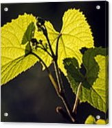 Amur River Grape Leaves (vitis Amurensis) Acrylic Print